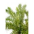 Huperzia (syn: Lycopodium) phlegmaria 'XL'