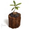 Antplant 'Hydnophytum formicarum'