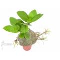 Antplant 'Hydnophytum formicarum' 'Starter'