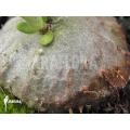 Antplant 'Hydnophytum mosleyanum' 'Type a'