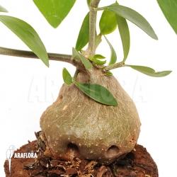 Hydnophytum formicarum 'XL'