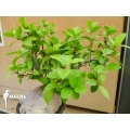 Antplant 'Hydnophytum formicarum' 'XXL'
