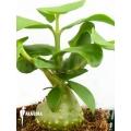 Antplant 'Hydnophytum mosleyanum' 'M'