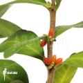 Antplant 'Hydnophytum mosleyanum'