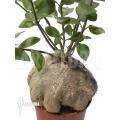 Antplant 'Hydnophytum papuanum XXL'