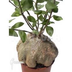 Hydnophytum papuanum XXL