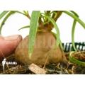 Antplant 'Hydnophytum perangustum' 'M'