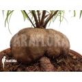 Antplant 'Hydnophytum perangustum' 'XXL'