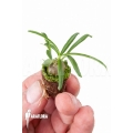 Antplant 'Hydnophytum perangustum' 'Plug'