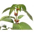 Antplant 'Hydnophytum radicans XXL'