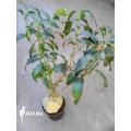 Antplant 'Hydnophytum simplex XL'