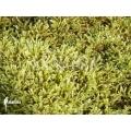 Moss 'Hypnum cupressiforme'