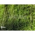 Cypress leaved plait moss (on tree) 'Hypnum cupressiforme'