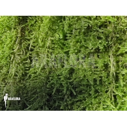 Hypnum cupressiforme (moss on tree)