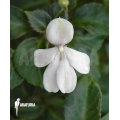 Impatiens (staying small)