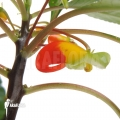 Congo cockatoo