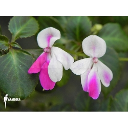 Impatiens  x 'Mini rainbow'