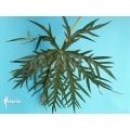 Coral plant (Jathropha multifida)