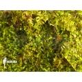 Vesicularia dubyana 'Java moss'