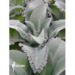 Kalanchoe daigremontiana (M)