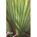 Red latan palm 'Latania lontaroides'