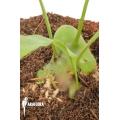 Ant fern species 'Lecanopteris celebica' 'Starter'