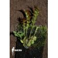 Ant fern species 'Lecanopteris luzonensis'