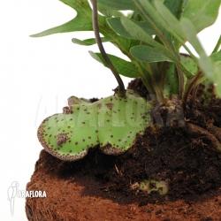 Lecanopteris mirabilis