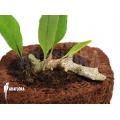 Ant fern species 'Lecanopteris sinuosa'