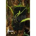Ant fern species 'Lecanopteris sinuosa b'
