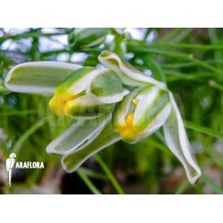 Ledebouria leptophylla