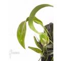 Orchid 'Lemboglossum ehrenbergii'
