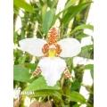 Orchid 'Lemboglossum rossii'