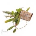 Japanese bean fern 'Lemmaphyllum microphyllum'