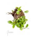 Japanese bean fern 'Lemmaphyllum microphyllum' 'Starter'