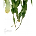 Lepismium houlletianum var. regnellii starter