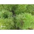 Prince of Wales fern 'Leptopteris superba'