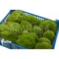 Cushion moss 'Leucobryum glaucum' 'XL'