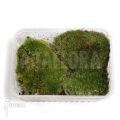 Cushion moss basket 'Leucobryum glaucum'