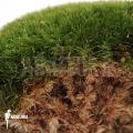 Cushion moss 'Leucobryum glaucum'