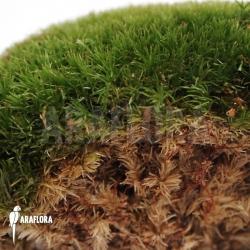 Leucobryum glaucum cradle (cushion moss)