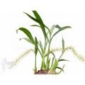 Orchid 'Liparis condylobulbon' starter