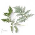 Tree fern 'Lophosoria quadripinnata'