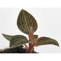 Orchid 'Ludisia discolor'