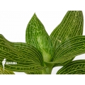 Orchid 'Ludisia discolor 'Alba'