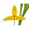 Orchid 'Lycaste aromatica'