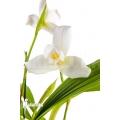 Orchid 'Lycaste skinneri 'White''