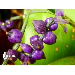 Lymania smithii flower