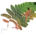 Marcgravia rectifolia