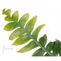 Marniera (Selenicereus) chrysocardium